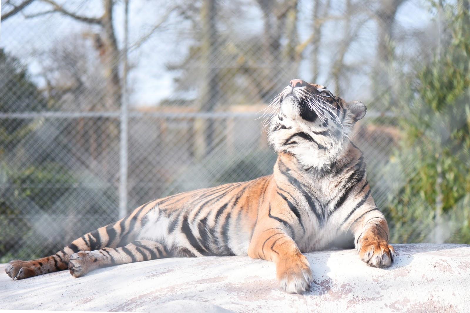 TigerTigerFive