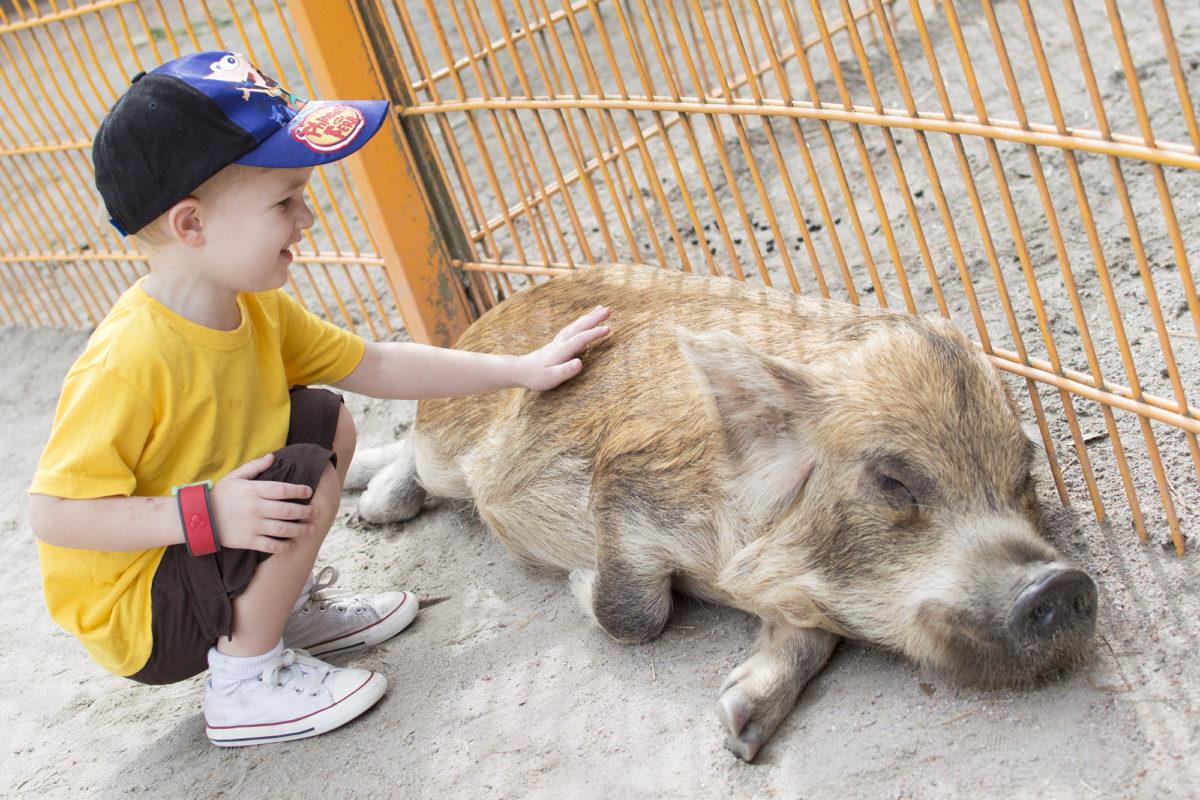 Disney's Animal Kingdom Theme Park Rafiki's Planet Watch Affection Section Conservation Station piggies
