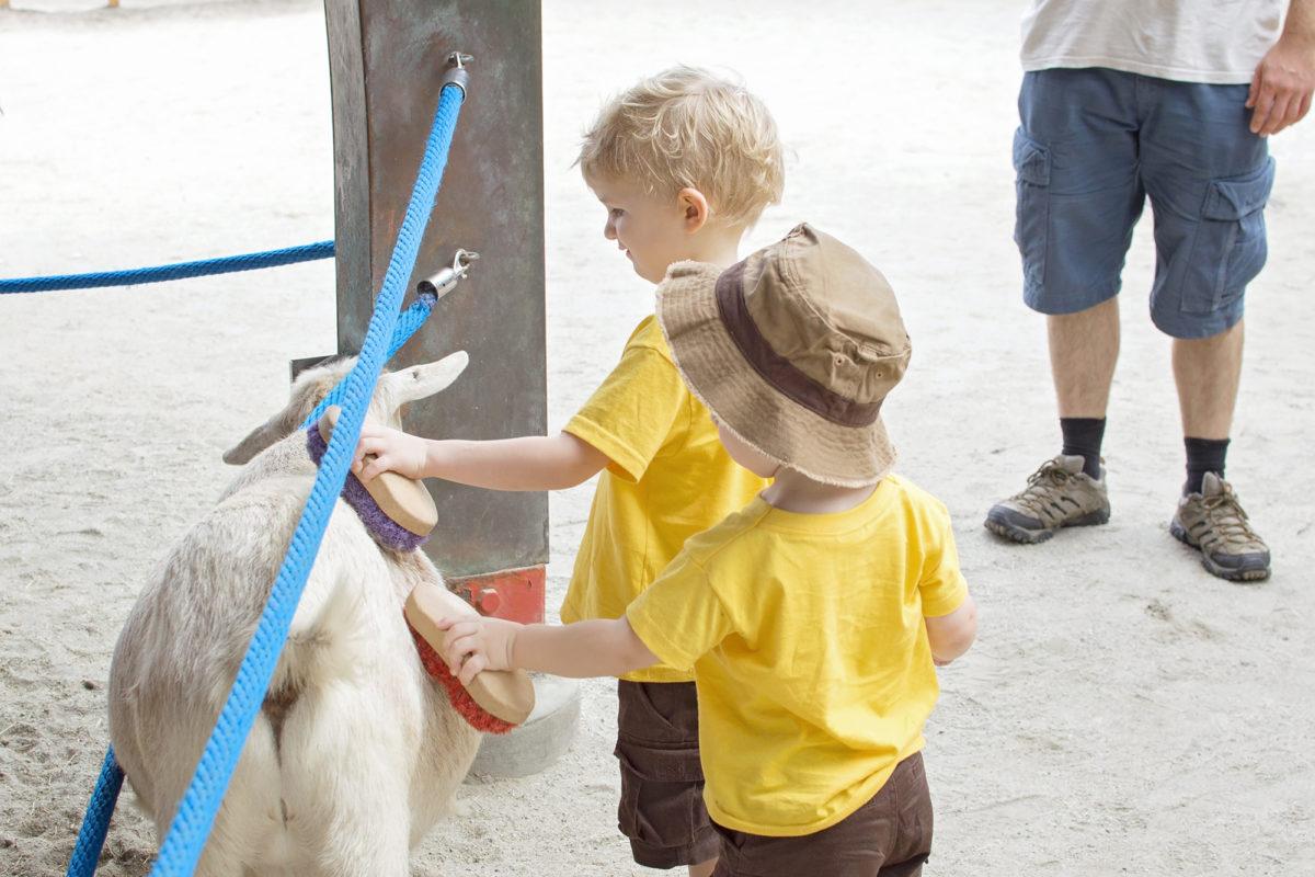 Disney's Animal Kingdom Theme Park Rafiki's Planet Watch Affection Section Conservation Station  Goats